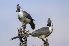 Paar Onbeschaamde gaan-weg-Vogels Royalty-vrije Stock Afbeelding