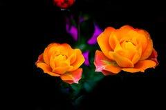 Paar oranje kleurenrozen in een de lentetuin stock foto's