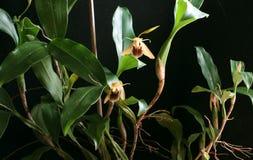 Paar orchideebloemen Royalty-vrije Stock Afbeelding