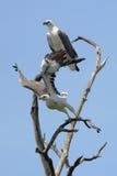Paar overzeese adelaars op een boom stock foto's