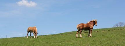 Paar Palomino-paarden stock afbeelding