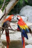 Paar papegaaien Stock Afbeeldingen