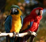 Paar papegaaien Royalty-vrije Stock Foto's