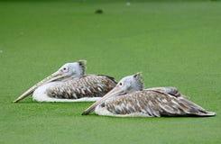 Paar-Pelikan im Wasser mit Grünpflanze Lizenzfreies Stockfoto