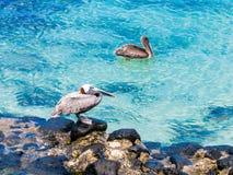 Paar pelikanen in de Eilanden van de Galapagos Stock Fotografie