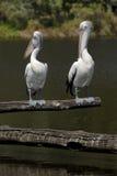 Paar pelikanen door meer Royalty-vrije Stock Afbeeldingen
