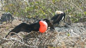 Paar prachtige frigatebirds op islagenovesa in de Galapagos stock footage