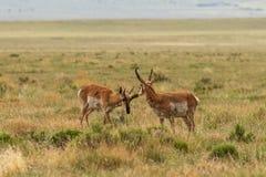Paar Pronghorn-Antilopebokken Royalty-vrije Stock Fotografie