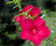 Paar rode hibiscusbloemen Stock Afbeeldingen