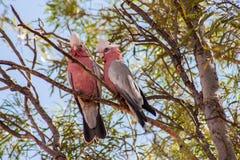Paar roze kaketoes Stock Afbeeldingen