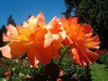 Paar rozen Royalty-vrije Stock Foto