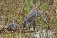 Paar Sandhill-Kranen op hun Nest - Florida Royalty-vrije Stock Foto