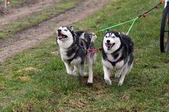 Paar Siberische huskys stock foto's