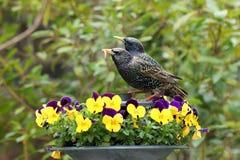 Paar starlings die onder pansies voeden Stock Foto