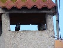 Paar starlings onder dak royalty-vrije stock afbeelding