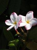 Paar Tegenover elkaar stellende Witte Bloemen royalty-vrije stock fotografie