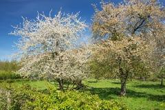 Paar tot bloei komende perenbomen Stock Foto's
