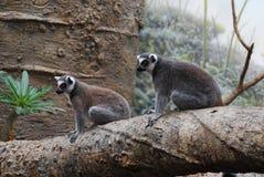 Paar van Aanbiddelijk Ring Tailed Lemurs Sitting Together op een Boom Stock Foto