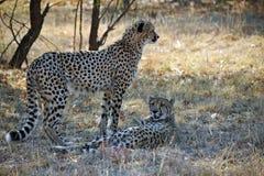 Paar van Afrikaanse Wilde Jachtluipaard Stock Fotografie