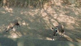 Paar van antilopen op grondgebied van dierentuin stock video