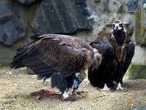 Paar van Asgrauwe Gieren, Aegypius die Monachus, Vlees van een Karkas eten stock fotografie