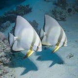 Paar van Batfish Stock Afbeeldingen