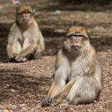 Paar van Bertuccia, of de aap van Barberia ` s Stock Afbeelding