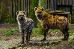 Paar van bevlekte hyena's die zich naast elkaar, wilde vleesetende zoogdieren van de woestijn van Afrika bevinden stock afbeeldingen