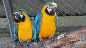 Paar van Blauwe en Gele Ara stock video