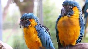 Paar van Blauwe en Gele die Ara op een Tak wordt neergestreken stock footage