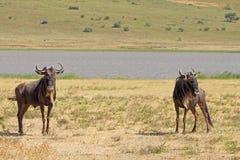 Paar van blauwe wildebeests in Ngorongoro Royalty-vrije Stock Foto