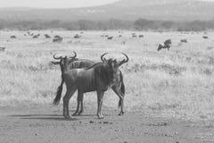 Paar van blauwe wildebeests in zwart-wit Stock Fotografie