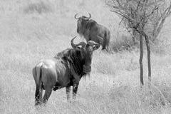 Paar van blauwe wildebeests in zwart-wit Stock Afbeelding