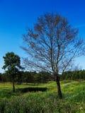 Paar van bomen Stock Foto