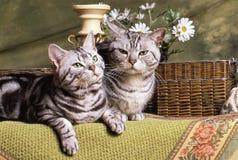 Paar van Britse shorthairkat Royalty-vrije Stock Afbeeldingen