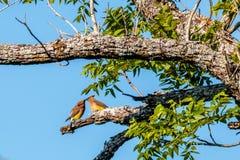 Paar van Cedar Waxwings Eating Berries royalty-vrije stock afbeeldingen