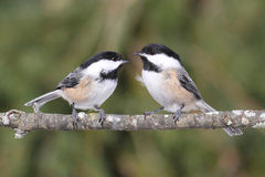 Paar van Chickadees op een Tak Royalty-vrije Stock Foto