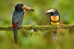 Paar van Collared Aracari, Pteroglossus-torquatus, vogels met grote rekening Twee Toekanzitting op de tak in het bos, Boca Tapada stock foto's