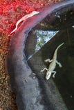 Paar van de Lamp van babyalbino alligators indoors with heat royalty-vrije stock foto