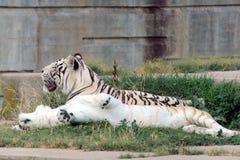 Paar van de tijger van Bengalen Royalty-vrije Stock Foto's
