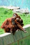 Paar van de wijfjes van de Orangoetan Stock Fotografie