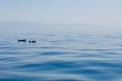 Paar van dolfijnen in blauwe rustige overzees dichtbij de eilanden in Kroatië royalty-vrije stock foto