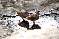 Paar van duiven royalty-vrije stock foto
