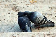 paar van duiven in het houden van Royalty-vrije Stock Afbeeldingen