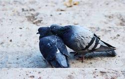 paar van duiven in het houden van Stock Foto's