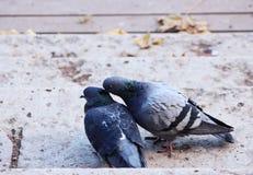 paar van duiven in het houden van Stock Fotografie