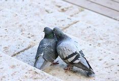 paar van duiven in het houden van Royalty-vrije Stock Afbeelding