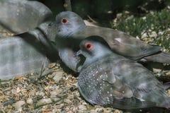 Paar van duiven het rusten stock foto's