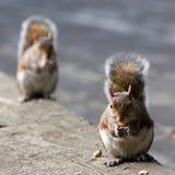 Paar van eekhoorns Stock Foto's