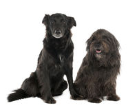 Paar van een Hond van het mengen-Ras met een Collie a van de Grens Royalty-vrije Stock Afbeeldingen